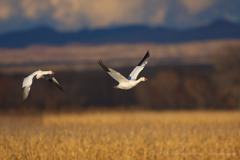 Snow Geese<br /> Bosque del Apache, NM