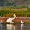 American White Pelican (10)