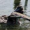 Brown Pelican (2)
