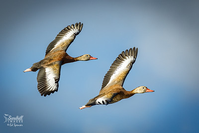 Black-bellied whistling ducks in flight