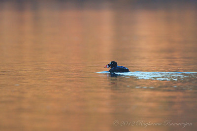 Surf Scoter Bodega Bay, CA