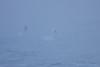 Tundra Swans<br /> Lansing, NY