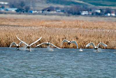 Tundra swans at Salt Creek Waterfowl Management Area. 03-05-14, photo by Mike Christensen, Utah Division of Wildlife Resources.