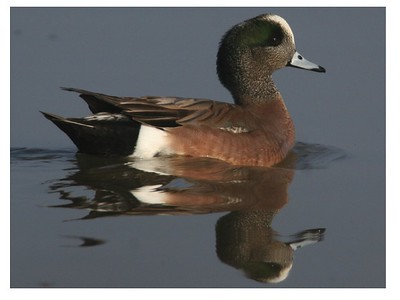 American widgeon drake at Harold Crane Waterfowl Management Area.  Photo by Phil Douglass.
