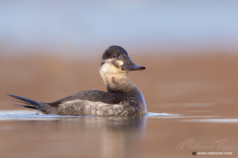 Ruddy Duck (Female)