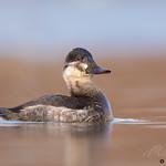 Ruddy Duck (Female)