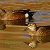 Blue-winged Teal (7)