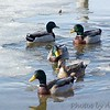 Mallards <br /> Creve Couer Lake <br /> 2004-02-19 <br /> <br /> No. 7 on my Lifetime List of Bird Species <br /> Photographed in Missouri.