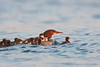 Common Mergansers<br /> Lansing, NY