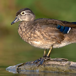 Wood Duck (Female)
