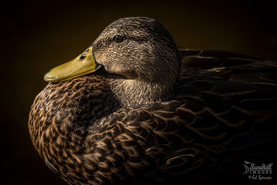 Mottled duck portrait