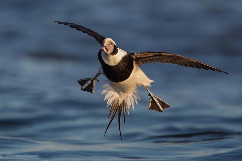 Long-tailed duck (Drake)