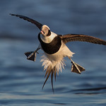 Long-tailed duck (Drake)