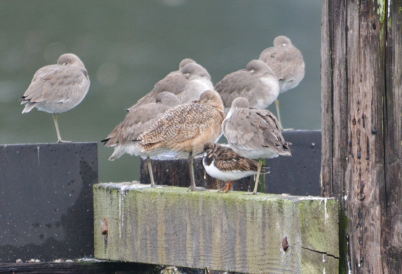 Willits, Whimbrel, Ruddy Turnstone