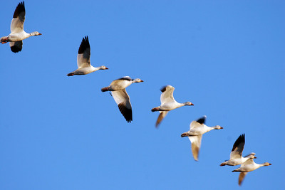 Snow geese in flight.  Photo by Lynn Chamberlain, Utah Division of Wildlife Resources