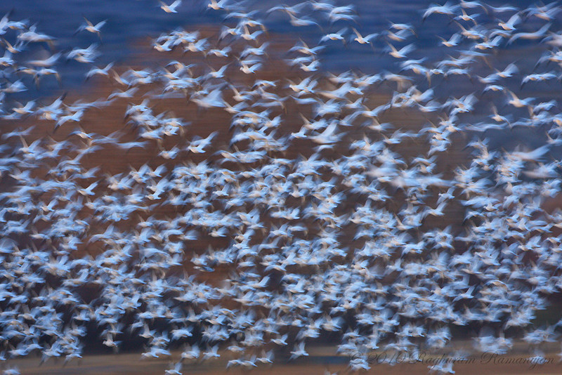 Snow Geese<br /> Bosque del Apache, NM