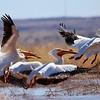 American White Pelican (6)