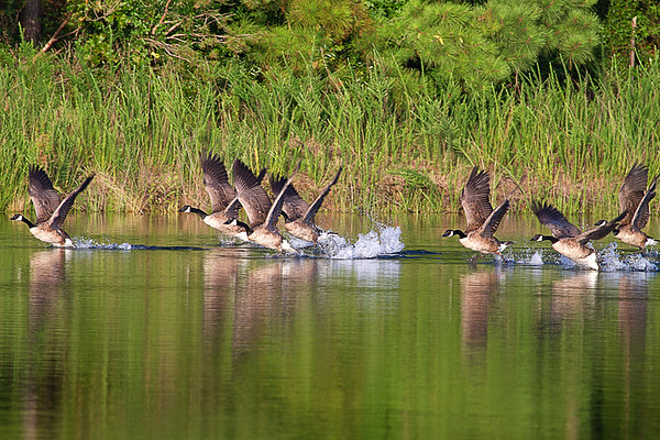 Canada Geese Taking off 2