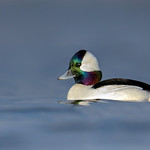 Bufflehead (Male)