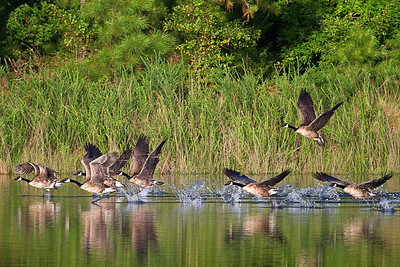 Canada Geese Wings over Water
