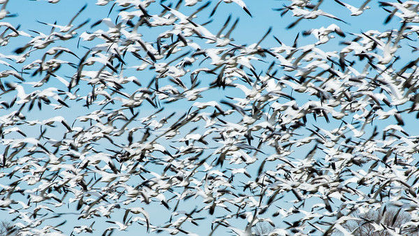 Ross' geese and snow geese.