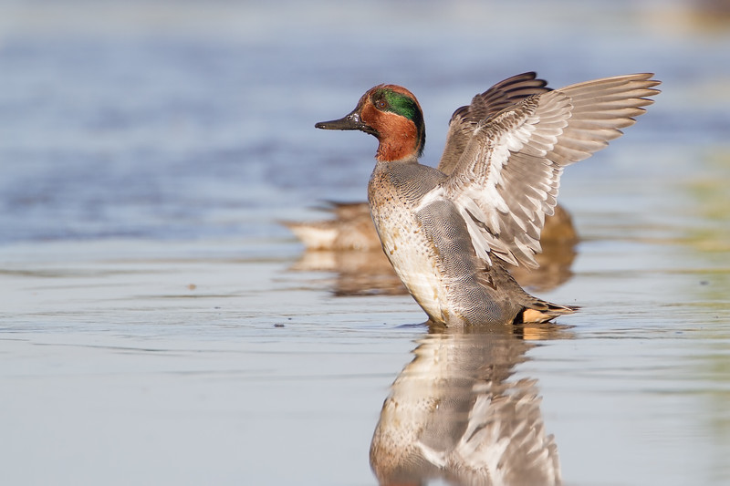 "Green-winged Teal - Viera Wetlands (click ponds) Florida<br />  <a href=""http://www.wklein.smugmug.com"">http://www.wklein.smugmug.com</a>"