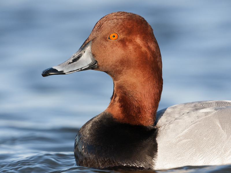 Red-Head/Canvasback Hybrid - Drake