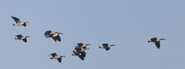 A flock of Canada geese in flight is always a thrilling sight.  Photo by Phil Douglass