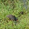 Common Gallinule  <br /> Sabine National Wildlife Refuge <br /> (previous Common Moorhen) <br /> Louisiana <br /> 2001