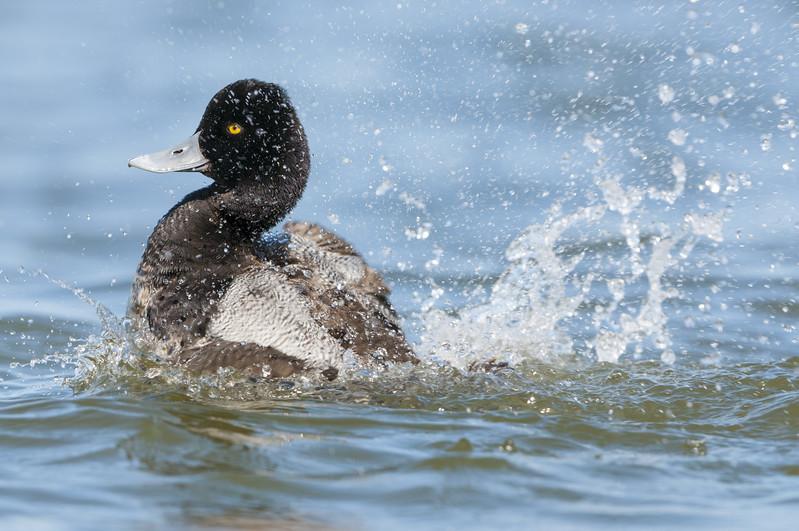 Lesser Scaup - Drake - Bathing