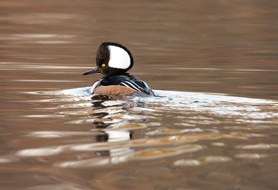 Hooded Merganser - Drake