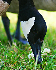 Canada Goose Face