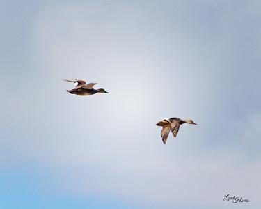 Gadwall Ducks in Flight