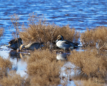Pintail Beauty