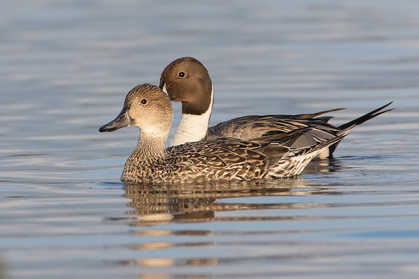 Mr. and Mrs. Pintail