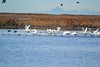 Swans and mallards and Ogden Bay WMA.