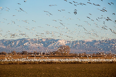 Thousands of snow geese gather in Delta, UT during the annual Snow Goose Festival. 2-22-14. Photo by Mike Christensen, Utah Division of Wildlife Resources.