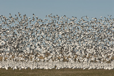 Lots of migrating snow geese feeding in a field.  Photo by J. Kirk Gardner, courtesy of the Utah Division of Wildlife Resources
