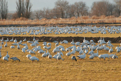 Snow geese in a field near Delta, Utah.  Photo by Lynn Chamberlain, Utah Division of Wildlife Resources