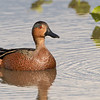 Cinnamon teal (hybrid) at Orlando Wetland park
