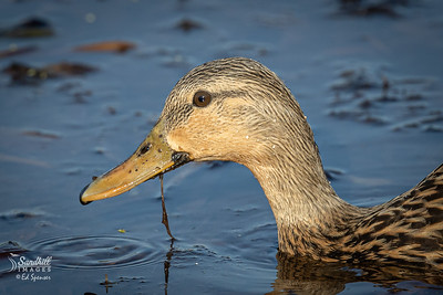 Mottled duck portrait with weeds