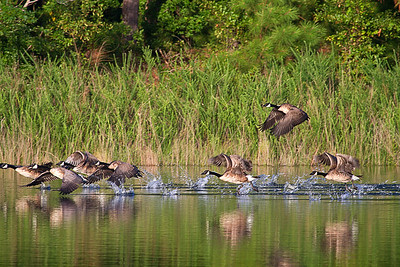 Canada Geese on the surface.