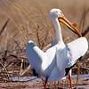 American White Pelican (13)