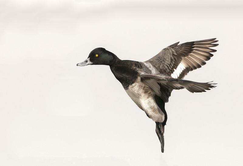 Lesser Scaup - Drake - In Flight