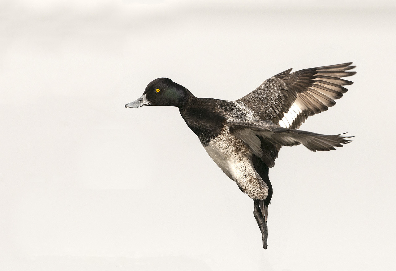 Lesser Scaup - Drake - In Flight