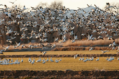Snow geese in a field near Delta, Utah.  Photo by Lynn Chamberlain, Utah Division of Wildlife Resources.