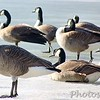 Canada Geese <br /> Creve Couer Lake <br /> 2004-02-19<br /> <br /> No. 8 on my Lifetime List of Bird Species <br /> Photographed in Missouri