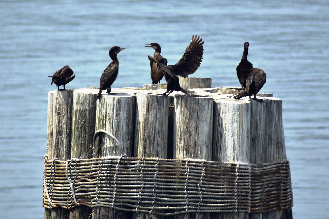 Puget Sound Cormorants