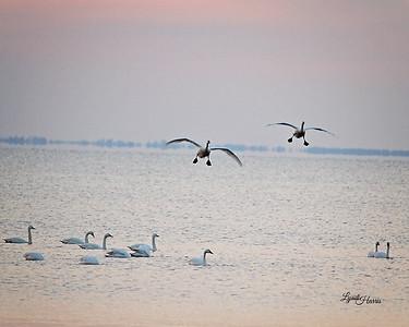 Tundra Swan 1