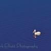 American White Pelican (2)